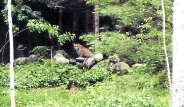 Residents of Sidney are debating whether this large cat, photographed in a local resident's backyard recently, is merely a large bobcat or proof that mountain lions live in Maine. (PHOTO COURTESY OF THE MAINE DEPARTMENT OF INLAND FISHERIES AND WILDLIFE)