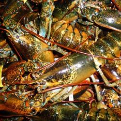 Milbridge company uses ID tags to promote, track lobster