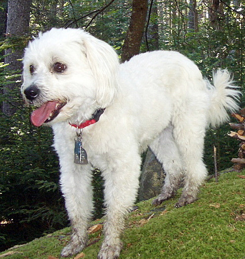 For Joni column Saturday, Dec. 11   Quigley, a 7-year-old Chinese Terrier, was lost in the Maine outdoors for nearly two weeks before he was found by an Old Town couple and reunited with his family. Photo courtesy of Bob Holmberg.