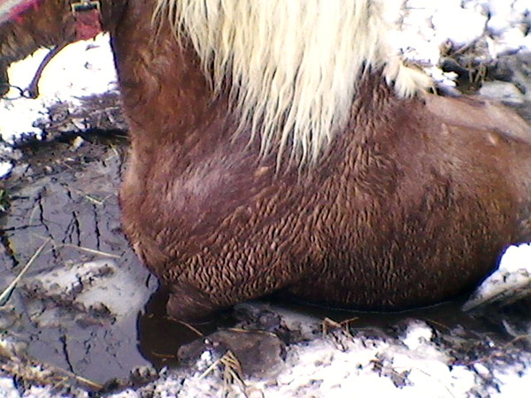 Prince, a Belgian draft horse owned by Greenbush resident Earl Strandell, broke  through the ice and needed to be rescued by firefighters and Selectman Charlie  Adams. Photo courtesy of Earl Strandell