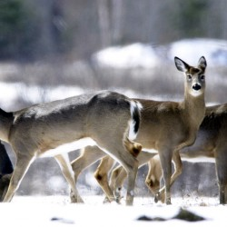 Deer's abnormal antlers stop traffic