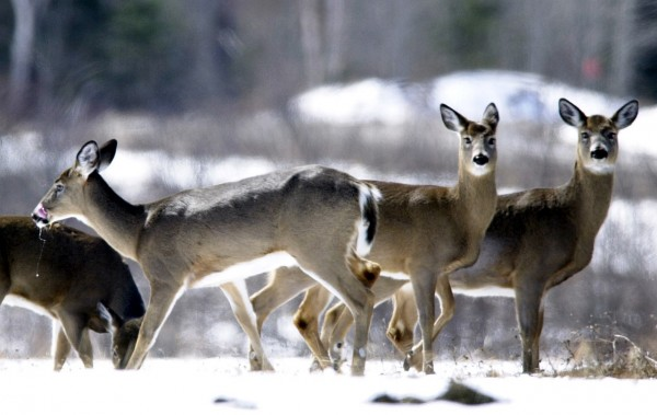 ** ADVANCE FOR MONDAY SEPT 21 **In this Wednesday, April 9, 2003 file photo, Deer gather in a field in Patten, Maine. Proponents of Maine's snaring program, where trappers use wire snares to strangle coyotes, say killing the predators helps sustain the deer herd. Maine's deer kill is expected to be the smallest in at least 25 years this fall because the deer herd has been shrinking across the state. (AP Photo/Robert F. Bukaty, File)
