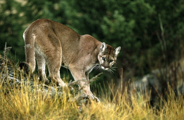 Proof to Strout please Mountain Lion picture Copyright: ? Getty Images Credit: Hemera Technologies
