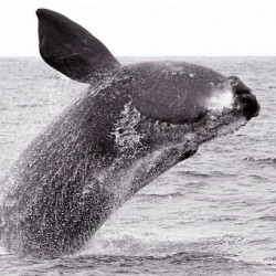 Feds expand critical whale habitat to include entire Gulf of Maine