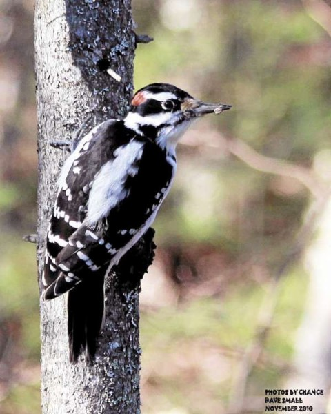 The hairy woodpecker, taken on the East Trail in the Bangor city forest. I'm always amazed at the approachability of busy woodpeckers. The constant movement and jack-hammering of their heads make for a difficult photo, but the occupied bird is so distracted that a careful observer can get fairly close. It's always fun to try! FOR STROUT