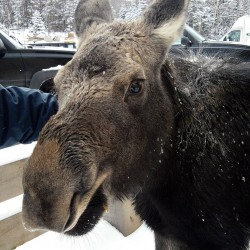 Motherless moose finds new home