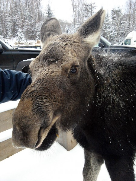 Darren McGovern of Portland pets a moose while on a business trip to Saddleback in Rangeley during December. The orphaned moose calf, which Saddleback staffers named &quotSouth Branch Suzie,&quot wandered around the resort for a few months before she was moved to a wildlife rehabilitation facility on Thursday. Suzie had begun hitting the slopes, and staffers were concerned for the safety of skiers and the moose. PHOTO Courtesy of Darren McGovern