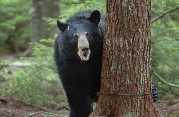 After being trapped by DIF&W biologists, a 246-pound female black bear pops her jaw as a sign of aggression Monday, June 14, 2010 in Township 36.