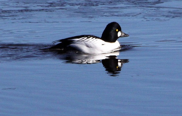 Goldeneye duck.  Strout for Outdoor pages.