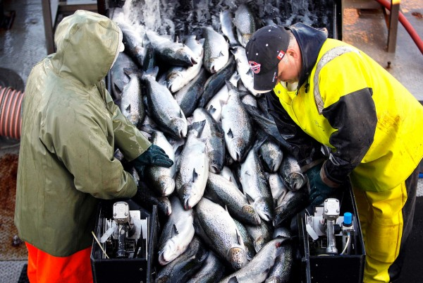 In this Oct. 12, 2008photo, farm-raised Atlantic salmon are brought aboard a harvesting boat near Eastport. Cooke Aquaculture in Machiasport recently reopened a state-of-the art salmon processing plant that will provide 80 full-time manufacturing jobs.  (AP Photo/Robert F. Bukaty, File)