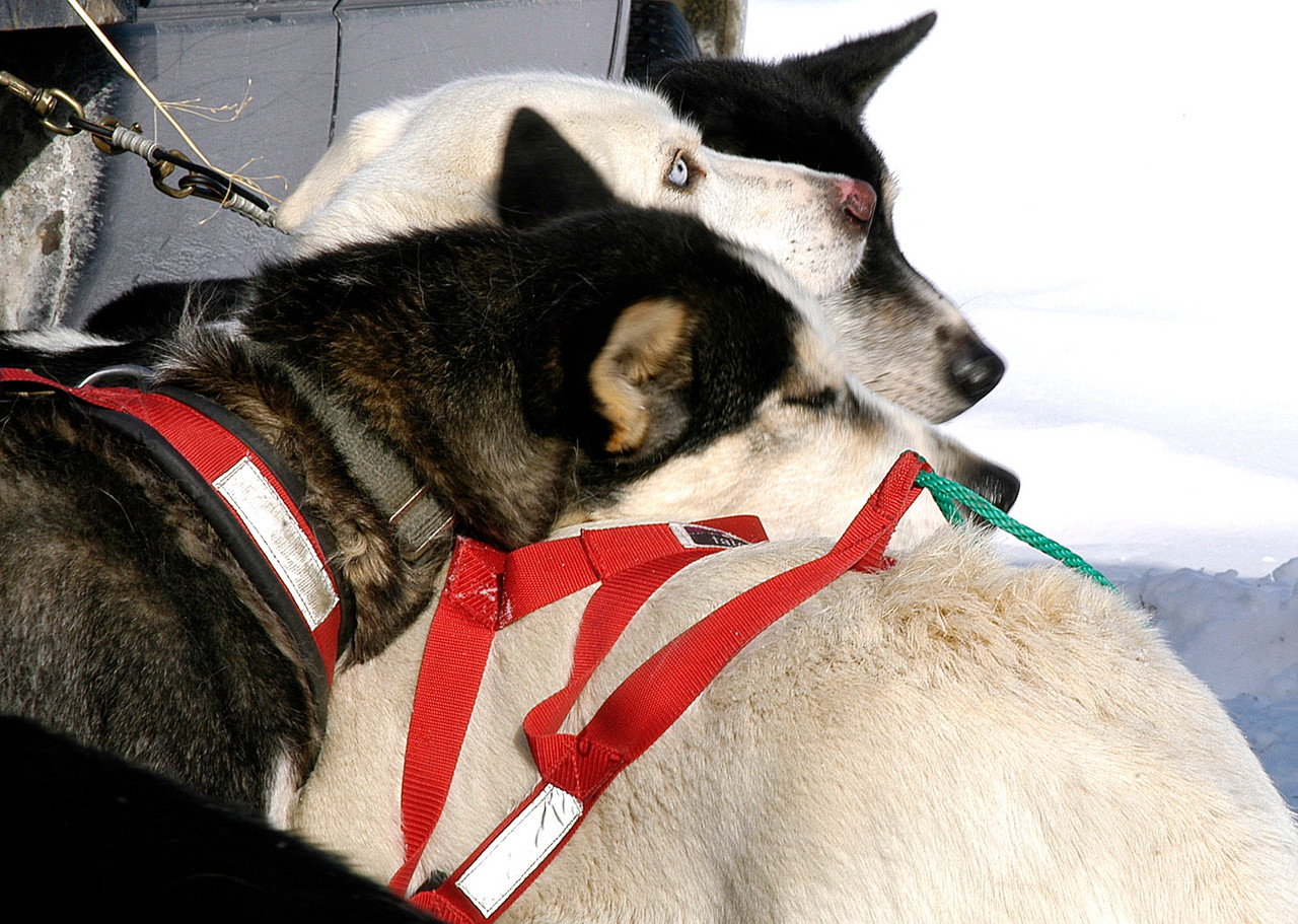 A sled dog appears to be catching a quick cat nap on the back of his teammate prior to the start of the 100-mile sled dog race in Eagle Lake this weekend (BANGOR DAILY NEWS Photo by Julia Bayly)