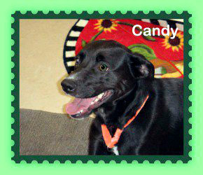A small black Lab mix named Candy, weighing approximately 35-40 pounds and about 3 years old, was reported stolen from the Kennebec Valley Humane Society midmorning Monday. According to the humane society, the dog is sick and needs medication. PHOTO COURTESY OF KENNEBEC VALLEY HUMANE SOCIETY