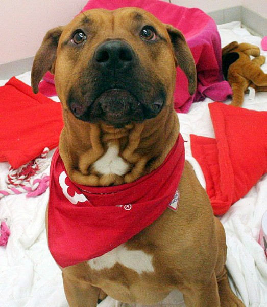 Aikido, a 2-year-old red-and-tan American pit bull, was reported stolen from the Bangor Humane Society on Monday afternoon. The humane society described him as friendly and said in a Facebook post that he was wearing a collar with Bangor Humane Society tags and a BHS bandana. PHOTO COURTESY OF BANGOR HUMANE SOCIETY