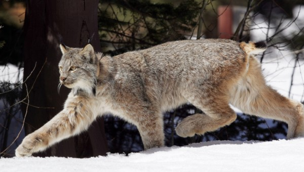 FILE-In this Tuesday, April 19,2005 file photo a Canada lynx heads into the Rio Grande National Forest after being released near Creede, Colo. Wildlife officials have dropped their appeal of a court ruling that forces the government to revise its flawed plan to protect critical habitat for Canada lynx. The move means the U.S. Fish and Wildlife Service will have to reconsider areas in Colorado, Montana and Idaho for critical habitat designation. (AP Photo/David Zalubowski, File)