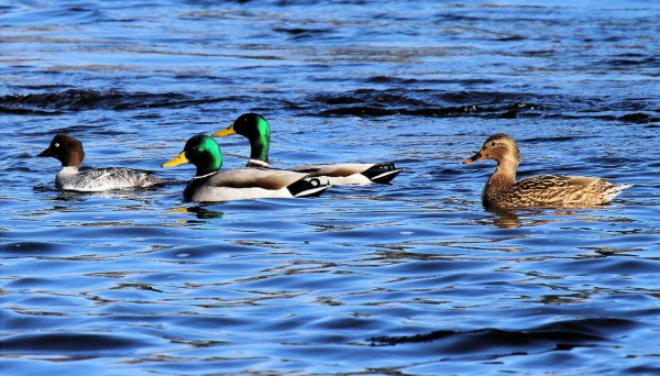 Golden eyes and mallards on the Penobscot River Jan. 10, 2011 (Photo provided )