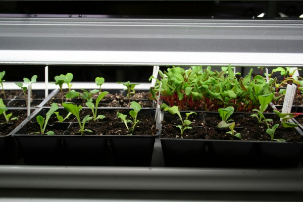 Lettuce and chard seedlings under the lights.
