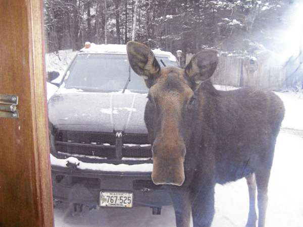 Georgette the moose looks through the front door of Sheila Thurber's house in St. John Plantation in early February. The moose stopped by the home several days in a row and nibbled on the trees. She has since moved on, apparently to other feeding grounds.