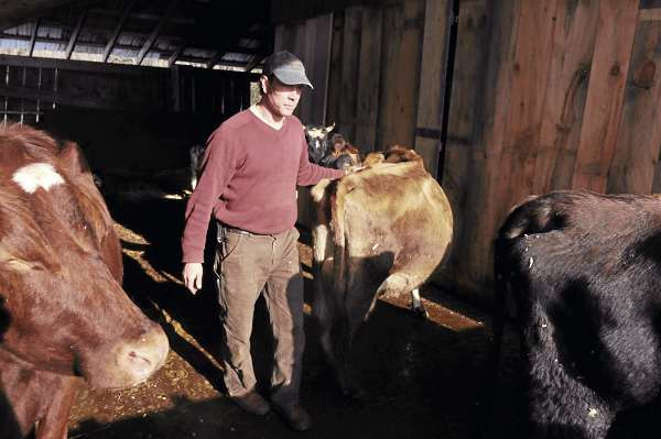 Phil Retberg walks among his herd of 5 milking cows at Quill's End farm in Penobscot. Retberg and his wife Heather run the 100-acre family farm which includes pigs, hens, sheep and dairy cattle, they also sell raw milk to a private buying club which boasts 60 members. The couple have proposed ordinances in four Blue Hill area town to ensure access to locally grown food.