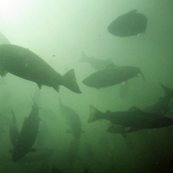 Salmon industry mounts a comeback