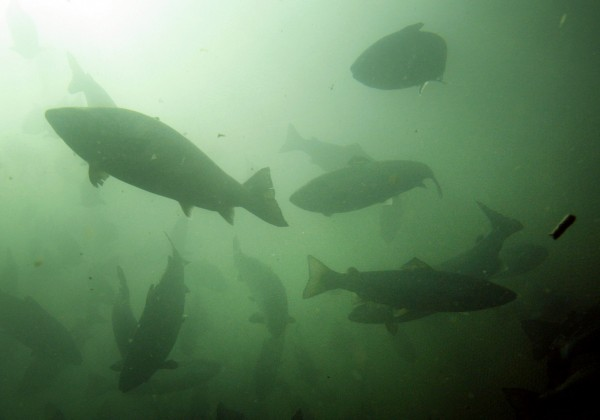 In this October 2008 file photo, Atlantic salmon swim in a pen in Eastport, Maine.