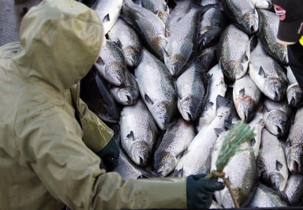 In this October 2008 file photo, farm-raised Atlantic salmon are harvested near Eastport, Maine. Maine salmon growers last year doubled their output of the fish, as the industry continues its rebound in Maine.