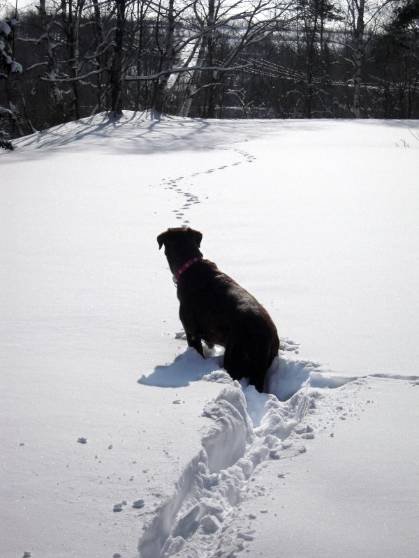 Kathryn Olmstead's chocolate Labrador retriever, Lucy, eyes fox tracks in the snow during a recent outing.