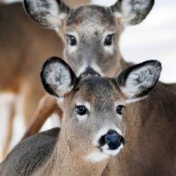 Maine's 2008 deer harvest lowest in decades