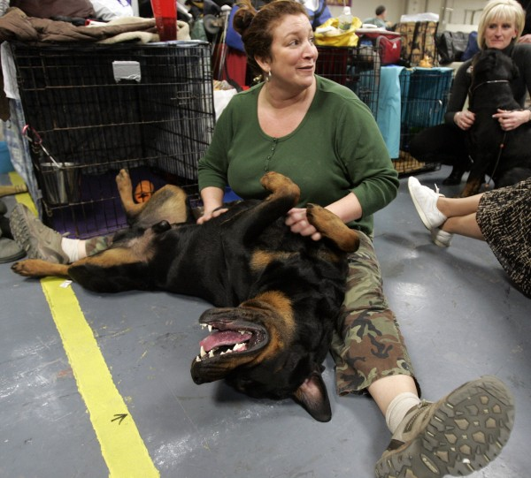 Heidi Zandri plays backstage with her rottweiler Capone during the second day of the 135th Westminster Dog Show, Tuesday, Feb. 15, 2011, at Madison Square Garden in New York.