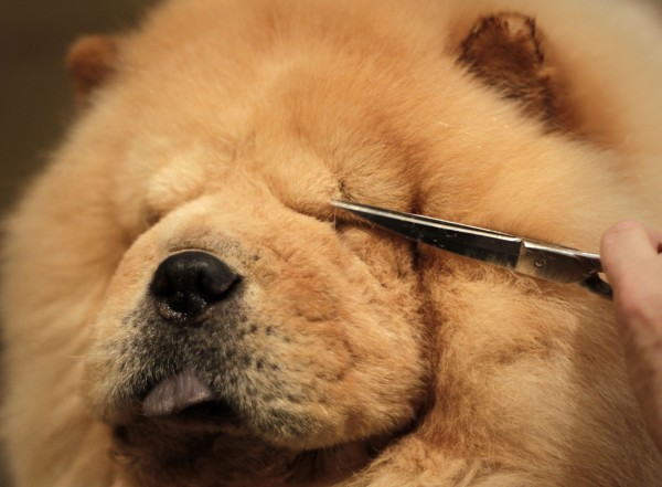 A chow chow named Cody is groomed before the 135th Westminster Kennel Club Dog Show in New York, Sunday, Feb. 13, 2011.