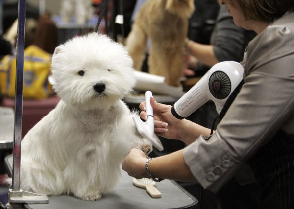 Danny, a West Highland white terrier, is groomed backstage during the second day of the 135th Westminster Dog Show, Tuesday, Feb. 15, 2011 at Madison Square Garden in New York.