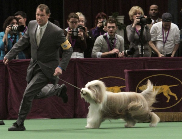 Herding dog group winner Tolkien Raintree Mister Baggins, a bearded collie, is led in the ring during the 135th Westminster Kennel Club Dog Show on Monday, Feb. 14, 2011, at Madison Square Garden in New York.