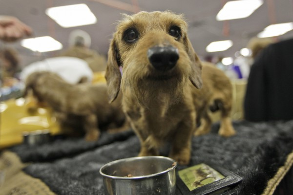 Gadget (right) and Romeo, miniature wire-haired dachshunds, from Atlanta, eat backstage at the 135th Westminster Kennel Club dog show Monday, Feb. 14, 2011, at Madison Square Garden in New York.