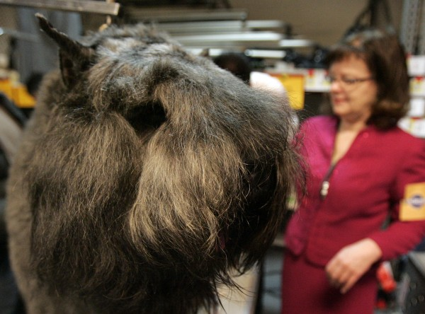 Eragon, a bouvier, is groomed by Cynthia Thames during the first day of the Westminster Dog Show on Monday, Feb. 14, 2011, at Madison Square Garden in New York.