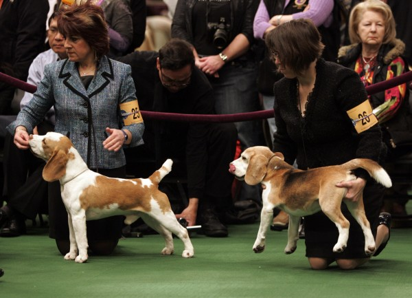 A group of beagles waits to be judged during the first day of the Westminster Dog Show on Monday, Feb. 14, 2011, at Madison Square Garden in New York.