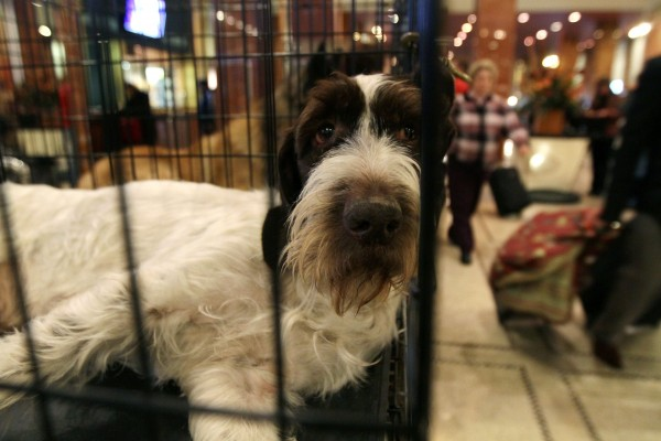 Lilly, a German wire-haired pointer from Ft. Worth, Texas, sits in her cage as she waits in the lobby of the Hotel Pennsylvania on Saturday Feb. 12, 2011, in New York. Lilly was to compete in the Westminster Kennel Club Dog Show at New York's Madison Square Garden.