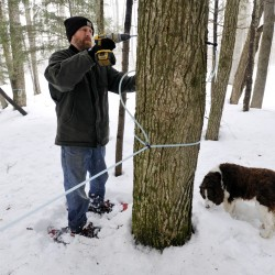 Sap 'pouring in' for producers, but harvest outcome uncertain