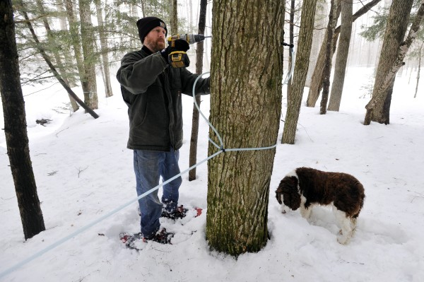 As his 7-year-old Springer Spaniel &quotGalahad&quot sniffs around, Lee Kinney of Kinney's Sugarhouse in Knox gets drills a new tap hole into one of his family's trees for maple sap extraction. All told, Kinney's Sugarhouse has approximatley 8500 taps to trees on the 180 acres they own in Knox, Maine.