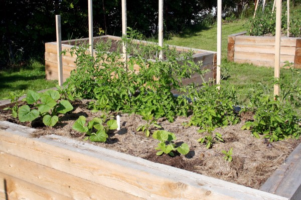 Tomato plants thrive in raised beds such as these 24-inch-deep raised beds made from hemlock timbers last summer in the Shead High School schoolyard garden.