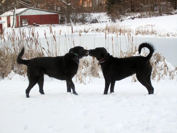 Robin Clifford Wood's dogs, Kate (from left) and Clara.