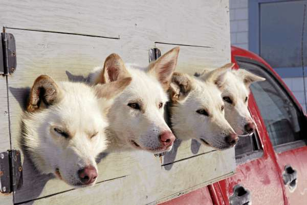 A group of sled dogs wait their turn at the Can Am vet check Friday afternoon in Fort Kent.
