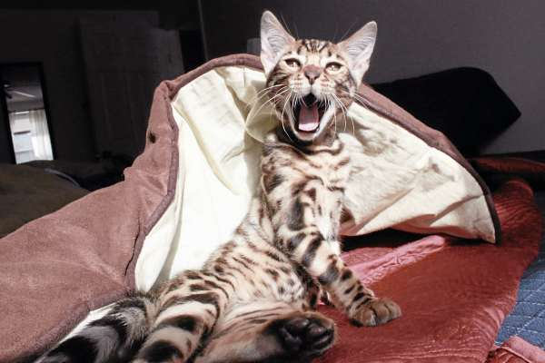 Bo, a bengal cat, yawns at his new home in Maine recently.