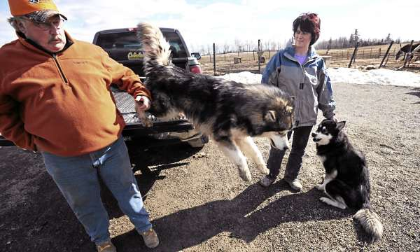 Kevin and Patti Schmersal, the owners of Black Bear Malamutes in Bangor, with two of their dogs, Lucien (left) and Arctic Skye.  The couple says that if the ordinance, considered by the City of Bangor,  is too restrictive it could hurt their Kennel business.  They breed Malamutes and German Shepherds.