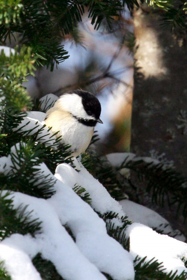 The quintessential black-capped chickadee image would be one of Maine's signature bird sitting on an evergreen branch among some puffy snow.