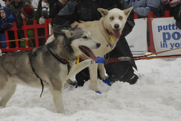 A pair of sled dogs is at the start of the Irving Woodlands Can Am Crown 250-Mile Sled Dog Race Saturday, March 5, 2011.