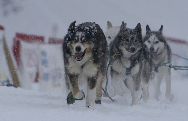 Fort Ken musher Mike Paradis' dogs bring him to the finish line of the Pepsi Bottling Co. Can Am Crown 30-Mile Sled Dog Race Saturday afternoon, March 5, 2011.