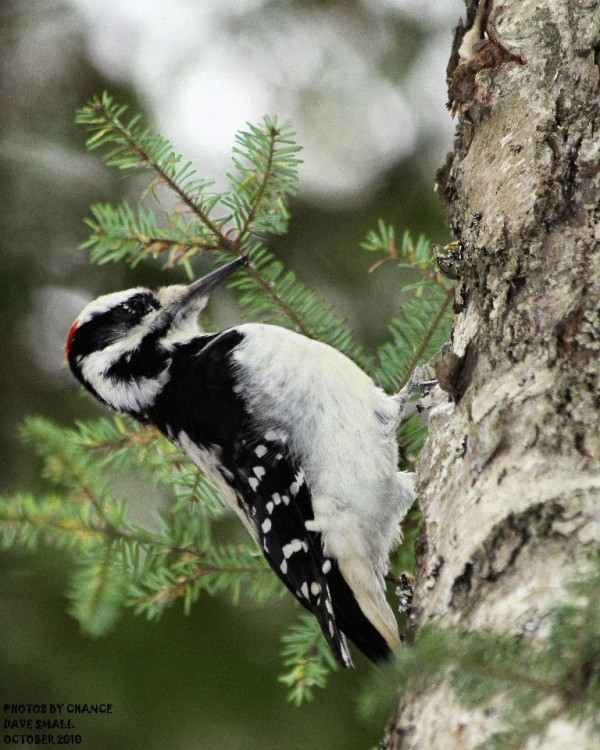 This hairy woodpecker was  seen at Jordan Pond Bubble Rock trail in Acadia National Park early this winter.