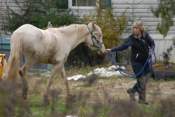 Maine Animal Welfare veterinarian Christine Fraser walks one of six horses corralled in a yard off Bald Mountain Road in Dedham to a livestock trailer in October. The owner is facing civil animal cruelty charges.