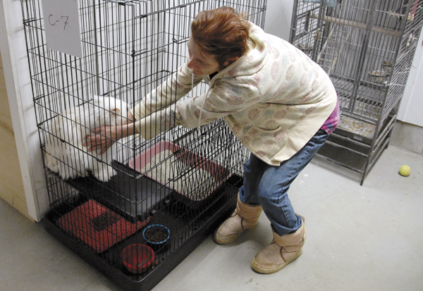 Meg Crocker-Curtis, manager of the Penobscot Valley Humane Society's shelter on Park Avenue in Lincoln, coaxes a long-haired cat from a cage at the shelter on Thursday. Why Not Stop, a Lincoln convenience store, will donate $.03 of every dollar's worth of gasoline that it sells in April to the Penobscot Valley Humane Shelter for supplies beginning April 1.