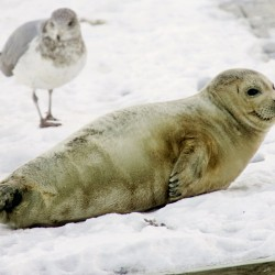 Maine group chosen to join seal stranding network