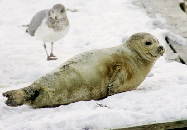 A juvenile harp seal rests on a ice covered dock next to a seagull in Boston Harbor.
